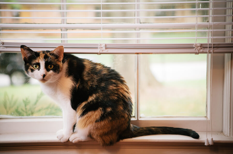Calico cat sits in a window, meowing at the camera.
